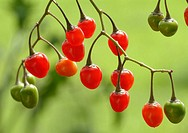 Bittersweet, medicinal plant, herb, poison, poisonous plant, Solanum dulcamara, Dulcamara, Morella ramicante