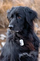 Shasta Humane society dog, addison's disease dog, Newfoundland sheepdog, australian sheperd, mixed breed flat coat retriever