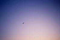 Seagull flying at dusk. Slite on the island of Gotland, Sweden