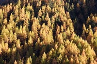Larch forest (Larix) in Asten Valley, Goldberg Group, Hohe Tauern National Park, Alps, Carinthia, Austria