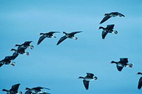 Greater white-fronted geese dropping in from stormy sky, North America, (Low angle view)