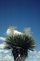 Giant dagger yucca (Yucca carnerosana) in full bloom, (High section)