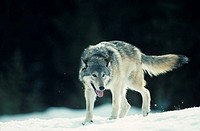 Wolf during grey phase on snowy horizon