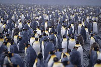 Colony of king penguins (Aptenodytes patagonicus), snowing