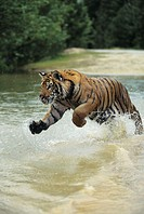 Bengal tiger (Panthera tigris tigris) charging through water