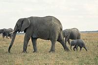 Herd of African elephants (Loxodonta africana) with baby,Masai Mara, Kenya, Africa