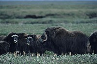 Large bull with cows, Musk oxen