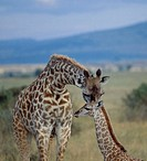 Giraffe (Giraffa camelopardalis) mother and young