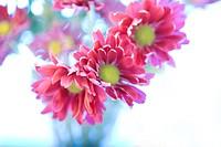 Purple daisies (Chrysanthemum) (Dendranthema grandiflora)