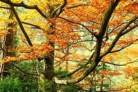 Beech branches.