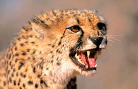 Cheetah, portrait (Acinonyx jubatus) captive. Game Farm. Namibia