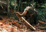 Elephant hauling timber in the forest in Sri Lanka.