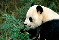 Giant Panda (Ailuropoda Melanoleuca) in Wolong Nature Reserve, China.