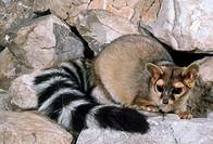 Ringtail cat (Bassariscus astutus) in Ogden, Utah.
