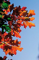 Red oak (thumbnail)