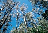 Australia, Victoria, eucalyptus forest