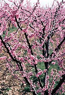 France, Ard&#222;che, flowering peach tree