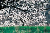 France, ArdÞche, flowering cherry tree
