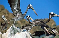 Chile, Pan de Azucar national park, pelican flight