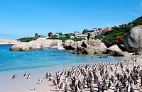 South Africa, Cape point, penguins