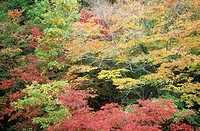 South Korea, Sorak mountains, maple tree at fall