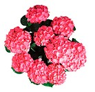 Red hydrangea