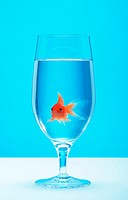 Gold fish in a glass of water