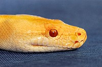 An up-close picture of a yellow snake with red eyes