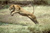 Lion-Jumping-(panthera-Leo)-Mara,-Kenya