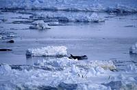 Killer-Whales-aka-Orcas-(Orcinus-orca)-&-Adelie-Penguins,-E.-Antarctica