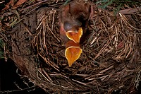 Blackbird (Turdus merula) nest w/ babies, Melbourne, Victoria, Australia, intro. 1860s