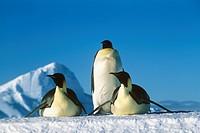 Emperor-Penguins--(Aptenodytes-forsteri)-Antarctica,-Flutter-Colony