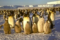 Emperor-Penguin-Rookery-(Aptenodytes-forsteri),-Atka-Bay,-Weddell-Sea,-Antarctica