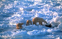Polar-Bear-(Ursus-maritimus)-with-cubs-hunting-seals,-frozen-coast,-Hudson-Bay