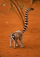 Ring-tailed-Lemur-with-young-(Lemur-catta),-Berenty-Reserve,-Madagascar