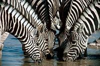 Zebra-drinking-at-Waterhole,-Etosha-N.P.,-Namibia