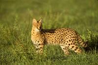 Serval-standing-in-Plains-(Felis-serval),-Maasai-Mara-NR,-Kenya
