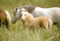 Miniature-Horse/n(Equus)/nSouth-America