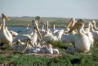 Am.-White-Pelicans-w/-Young-(Pelecanus-erythrorhynchos)-Bowdoin-NWR,-MT