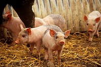 Hampshire-Piglets,-1-2-weeks-old,-Eyrewell,-Canterbury,-New-Zealand