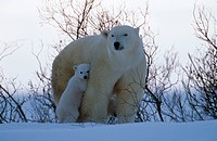 Polar-Bear-with-cubs-(Ursus-martimus)-Churchill,-Manitoba