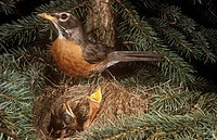 Robin-at-Nest