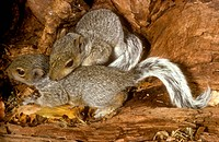 Baby-Grey-Squirrels