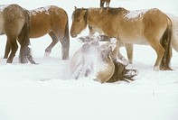 Spanish-Mustang-Family-Band-in-Winter-w/Rolling-Horse/nnear-Oshoto,-WY----------PR