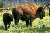 Bison-mother-&-calf/nMontana