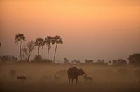 African-Wild-Dog-w/-Buffalo/n(Lycaon-pictus)---moody/nOkavango-Delta---Botswana