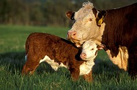 Beef-Cow-and-Calf/nVT