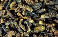 Dried Mopane Worms are  edible Caterpillars, Limpopo Prov., South Africa