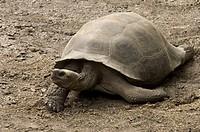 Sierra Negra race of Galapagos Tortoise, Geochelone nigra, Giant Tortoise Breeding Center, Isabela Island, Galapagos, Ecuador