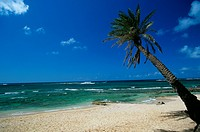 Palm Tree on  North Shore, famous Surfing Beach, Oahu, HI